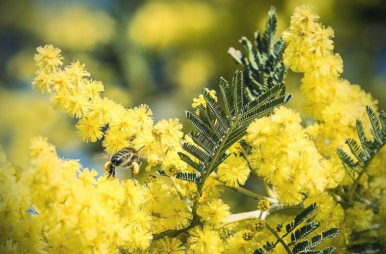 abeille-mimosa-combyavm-for-firmenich-757x500