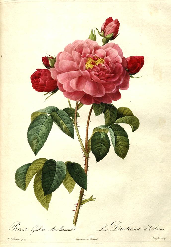 Rosa_gallica_aurelianensis