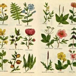 culpeper - herbier 11