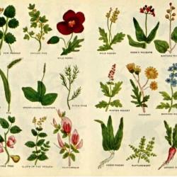 culpeper - herbier 12