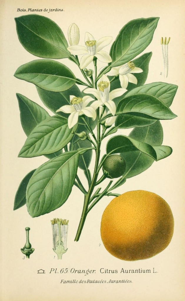 dessin de fleur de jardin 0133 oranger - citrus aurantium
