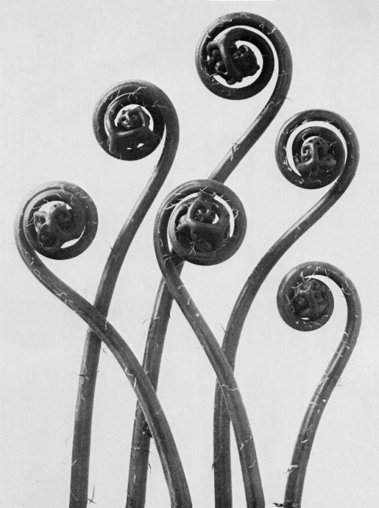 Adiantum pedatum (Karl Blossfeldt,1928)