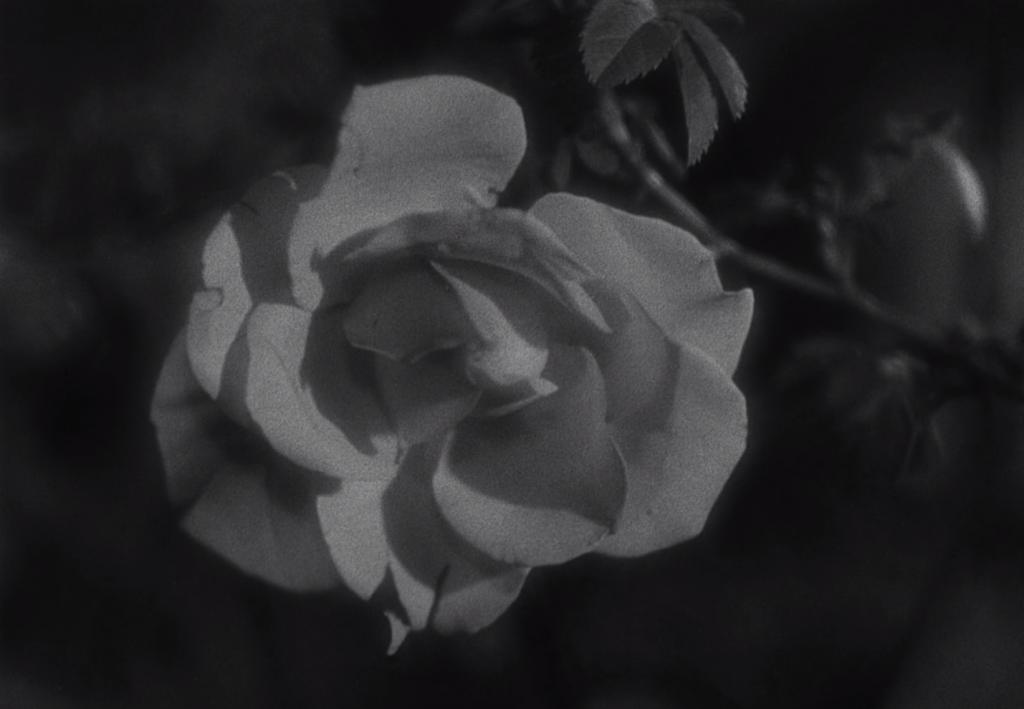 La rose, dans La Belle et la Bête de jean Cocteau, sorti en salles en 1946.