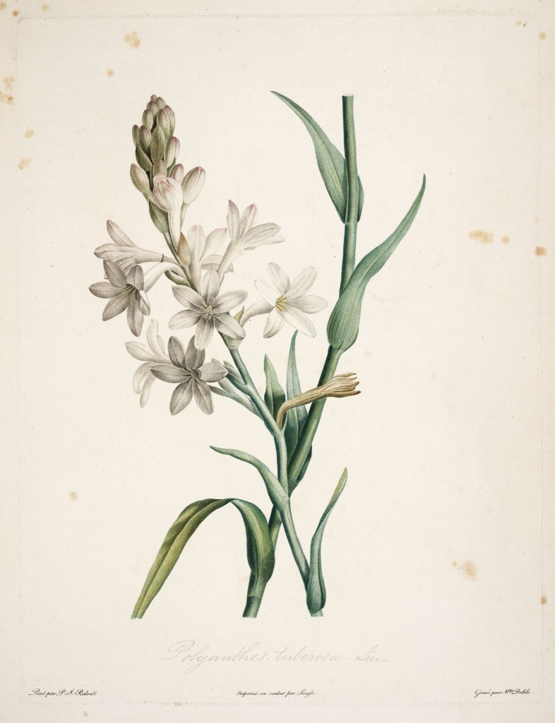gravures botanique Rousseau - 137 polyanthes tuberosa - polyanthe tubereuse