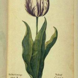 Une tulipe, connue sous le nom de « Vice-roi », dans un catalogue néerlandais de 1637. Le prix indiqué est de 3 000 à 4 200 florins (le salaire annuel moyen d'un ouvrier  était de 150 florins)