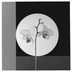 Robert Mapplethorpe, Orchid, 1988, Gelatin Silver Print © Robert Mapplethorpe Foundation