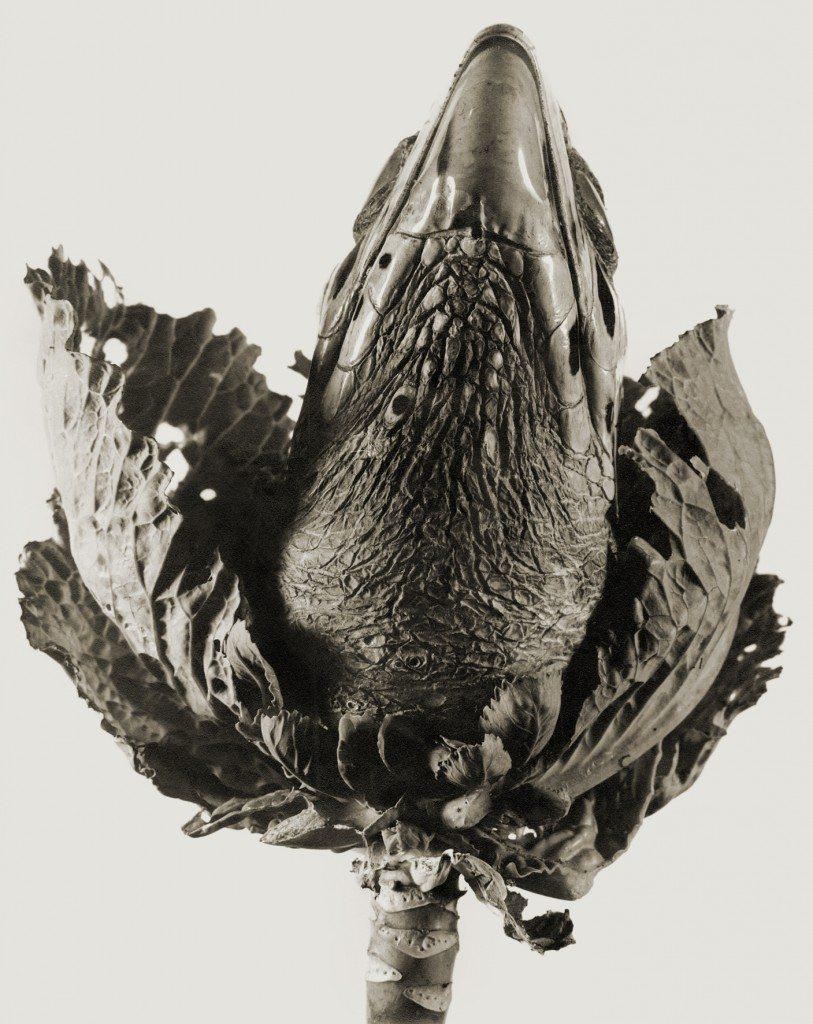 lavandula angustifolia, photographie de Joan Fontcuberta   (© Joan Fontcuberta)