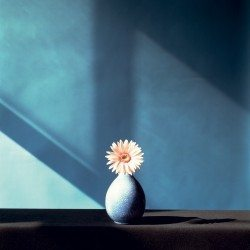 Robert Mapplethorpe, African Daisy, 1982, Dye Transfer © Robert Mapplethorpe Foundation.