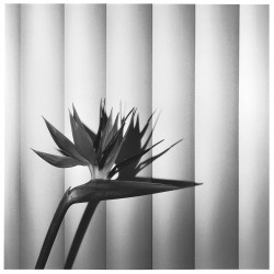 Robert Mapplethorpe, Bird of Paradise, 1981, Gelatin Silver Print © Robert Mapplethorpe Foundation.