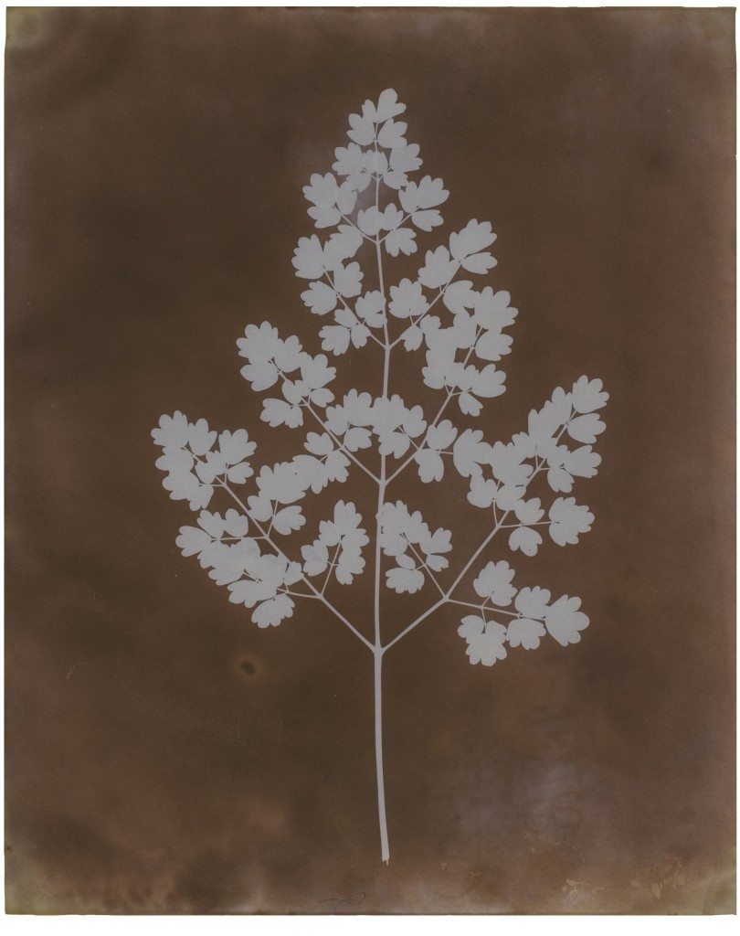 William Henry Fox Talbot - Adiantum Capillus-Veneris (Maidenhair Fern), probably early 1839. Photogenic drawing negative 22.5 x 18.3 cm Courtesy of Hans P. Kraus Jr., New York