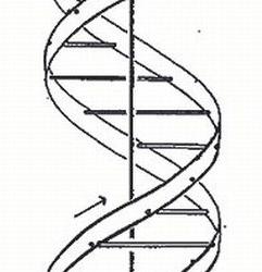 Odile Crick, Modèle de la double hélice (1953), Nature, 25 avril 1953
