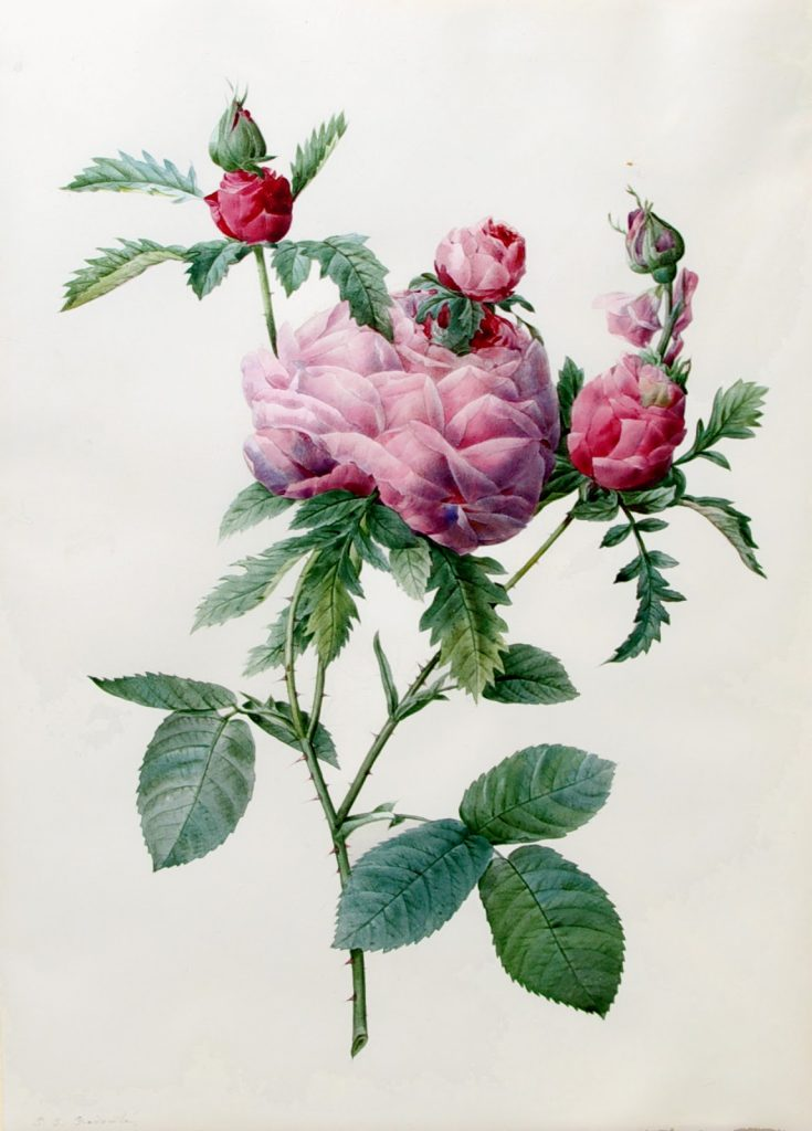 Rosa Centifolia Prolifera Foliacea, Pierre-Joseph Redouté (1759-1840)