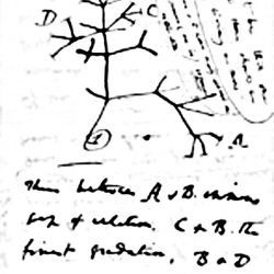 Charles Darwin, Troisième diagramme évolutionnaire, 1837