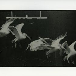 Etienne-Jules Marey (1830-1904) - chronophotographie du vol d'un héron (titre incertain)
